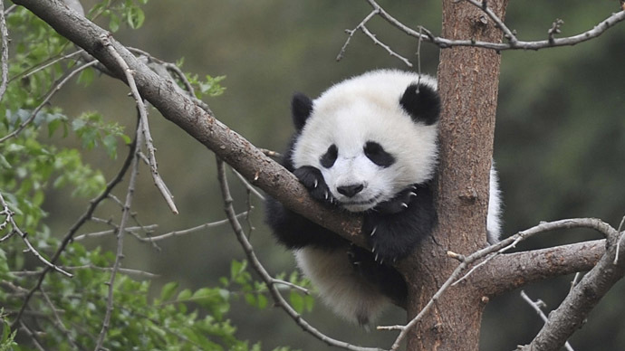Pandas get lonely? Cuddly creatures enjoy social interaction, GPS research finds