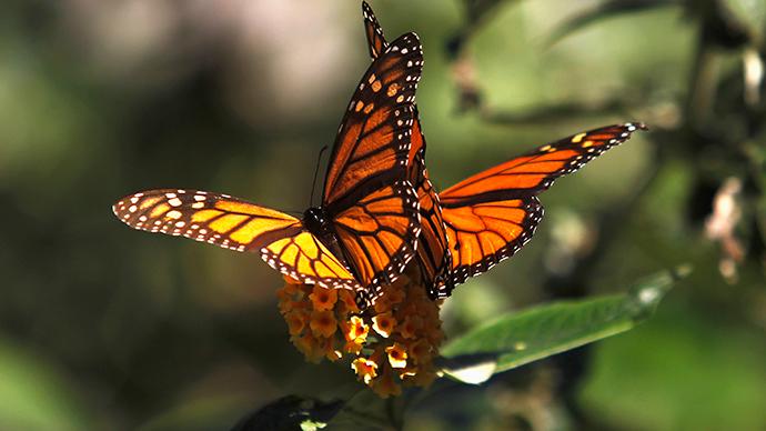 Monsanto pledges $4 million to help save monarch butterflies