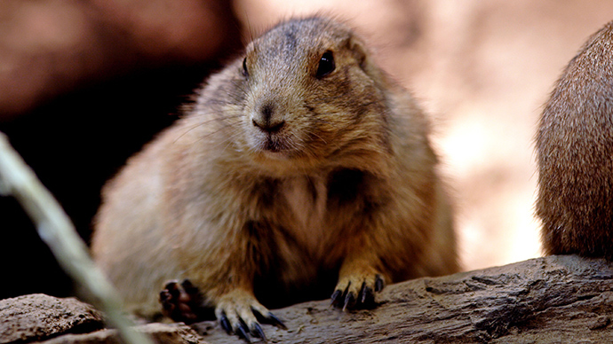 Bubonic plague found in Arizona after fleas infect prairie dog burrow