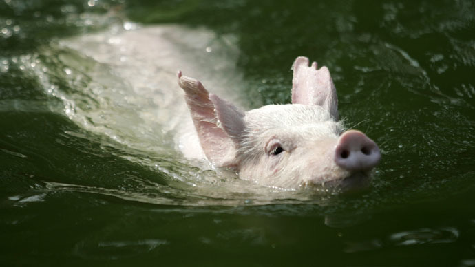 High-dive hams: 'Flying pigs show' prompts mixed reaction for Chinese tourism official