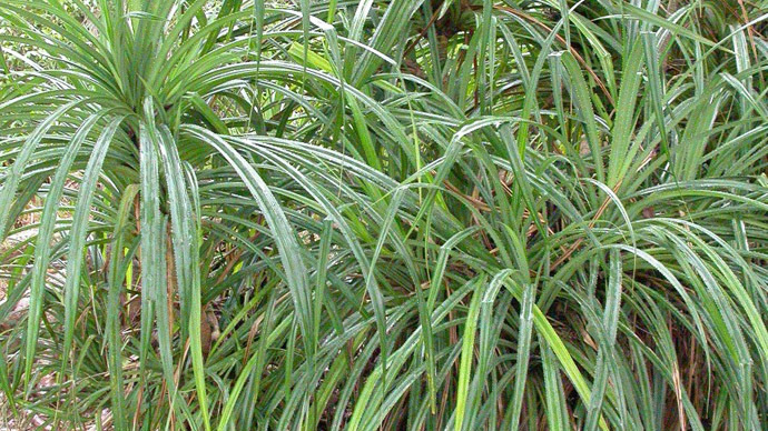 Carat clue? African plant points to diamonds beneath ground, scientist says