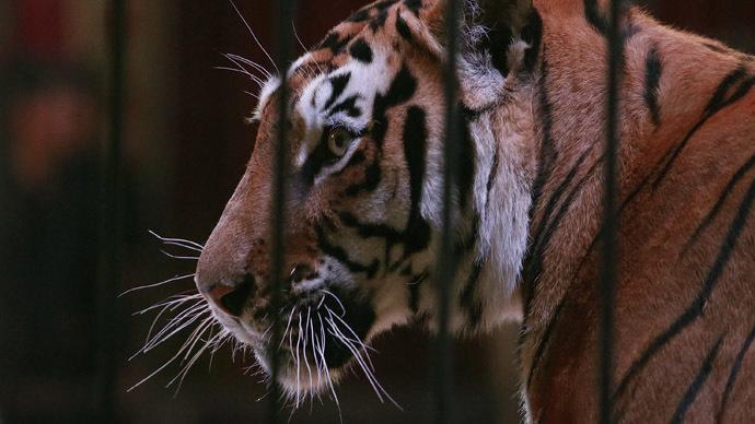Tigernado! Rumor of escaped Oklahoma tigers sparks internet hashtag, meme