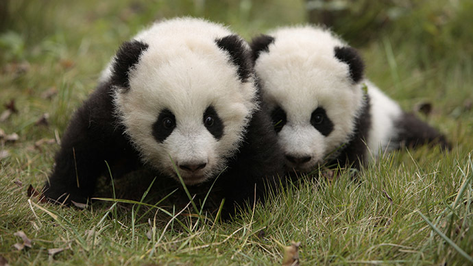 Vegetarian pandas have carnivore guts, may be on their way to extinction
