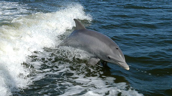 BP oil spill caused biggest dolphin die-off in Gulf history – study
