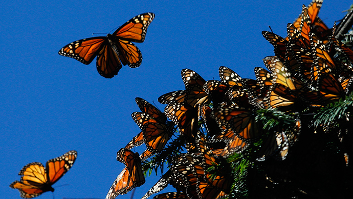 White House to create 1,500 mile corridor to help migrating Monarch butterflies