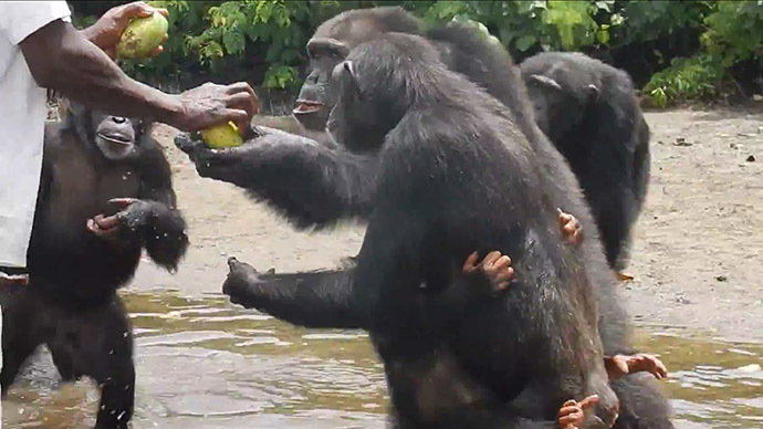 Chimps used for hepatitis research abandoned in Liberia without funding for survival