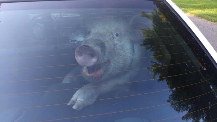 Run - it's the pigs! Hog on the run gets ride in police car, defecates on back seat
