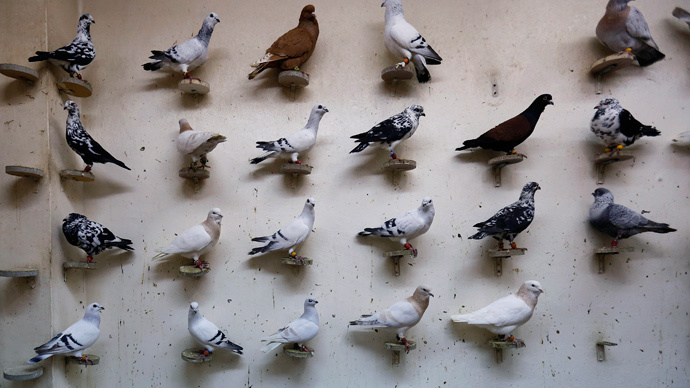 ISIS bans pigeon breeding as seeing birds' genitals 'offends Islam' - report