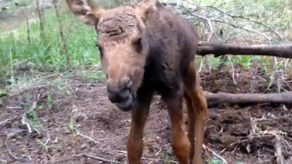 ​Montana forestry workers kill, blow up orphaned moose reported by Good Samaritan