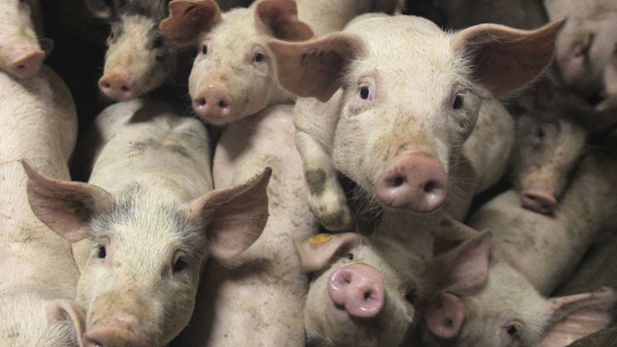 Pigs on the run: Truck with 2,200 piglets overturns in Ohio, hundreds escape