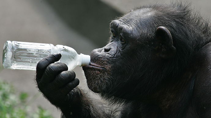 ​Jungle juice! Wild chimpanzees regularly drink alcohol, scientists find