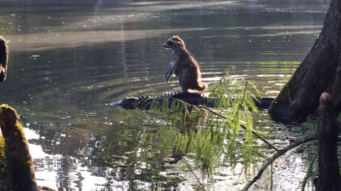 Snap that! Florida raccoon 'riding' alligator captured on camera
