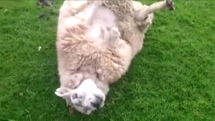 Man saves overweight, prostrate sheep from death in Cumbria, UK (VIDEO)