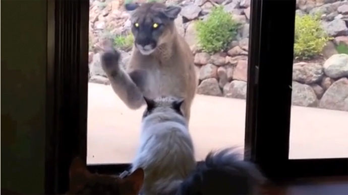 ​Caught on tape: Brave cat faces mountain lion & isn't the slightest bit scared