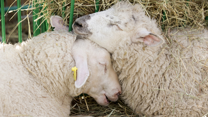 ​Counting sheep to fall asleep? Here's the best solution baa none! (VIDEO)