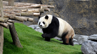 Scientists reveal how pandas manage to survive on bamboo diet