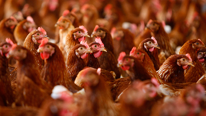 CDC: Salmonella outbreak caused by cuddling with chickens