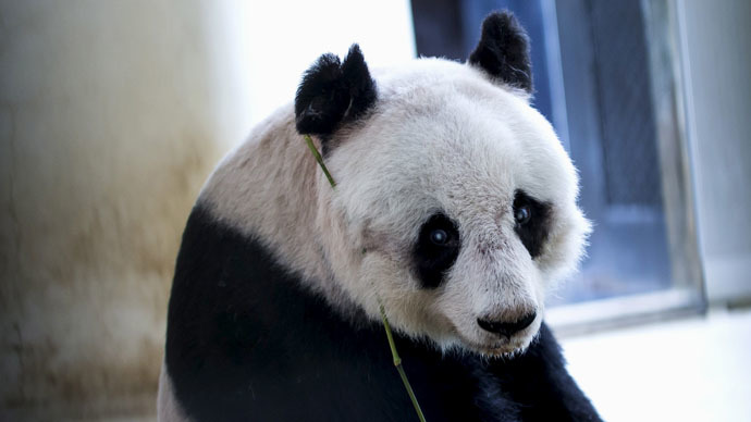Panda power: Hong Kong specimen to set world record for longevity
