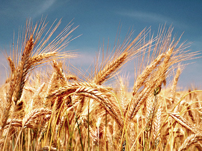 Getting a better harvest from Russian agriculture