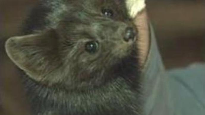 Russian fur fetches highest price for 12 years