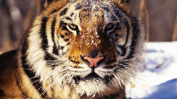 Endangered tiger saves face thanks to Russian kids