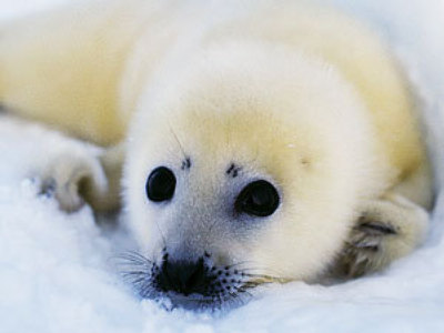 Russia introduces complete ban on baby seal hunt