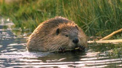Latvian capital surrenders to beaver invasion