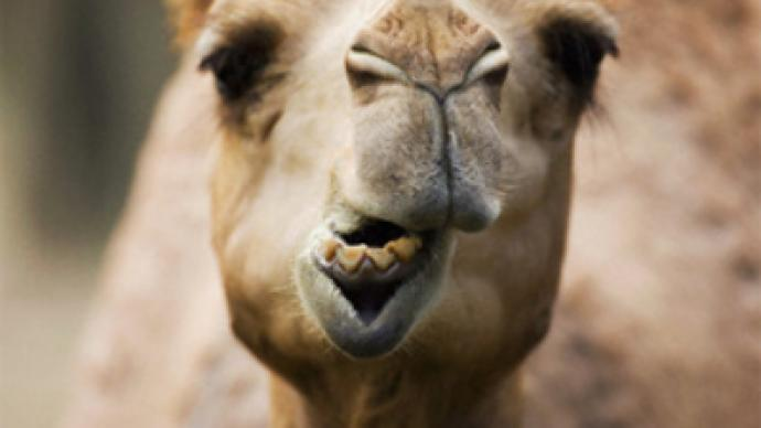 "Camel ""Pharaoh"" comforts Siberian mourners"