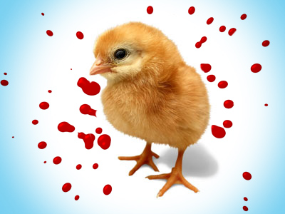 300,000 chicks slaughtered when farm ownership changes hands