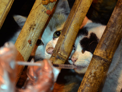 Off the menu: 600 plump cats escape slaughter after China truck crash