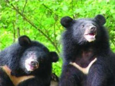 Chinese environmentalists call for bear protection