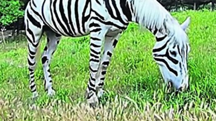 29a8b3970 Fake zebra seized in Ukraine — RT World News