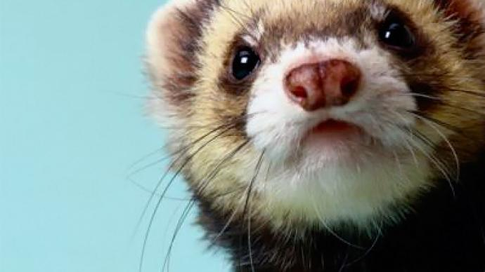 Depressed ferret escapes circus with ape and parrot in tow