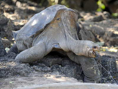 Last-of-his-kind giant Galapagos tortoise found dead