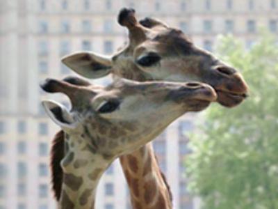 Giraffes wed in Brazil