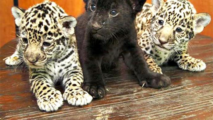 Jaguar cubs born in St. Petersburg zoo