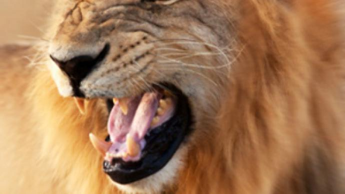 Lion attacks tamer at circus, sent to zoo