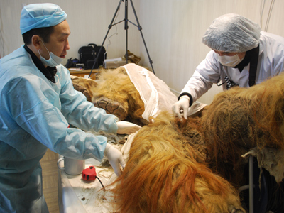 Rare mammoth discovered in Russia, entire graveyard suspected