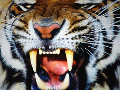 Man-eating tiger shot dead