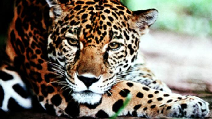 Oil and bushmeat threaten Ecuador's jaguars