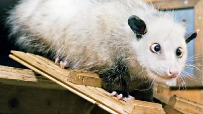 Cross-eyed opossum charms Germans