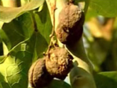 Poison plant a new biofuel? (Reuters.com)