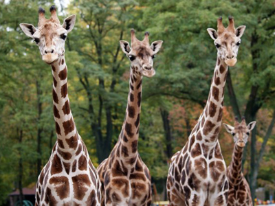 Polish vandals scare two giraffes to death