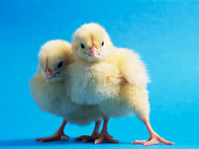 Online calls to save chicks from grim cull
