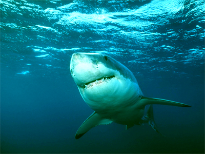 Hungry sharks cancel Russian surfing cup