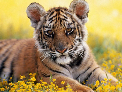 Russia leads way in saving tiger from jaws of extinction