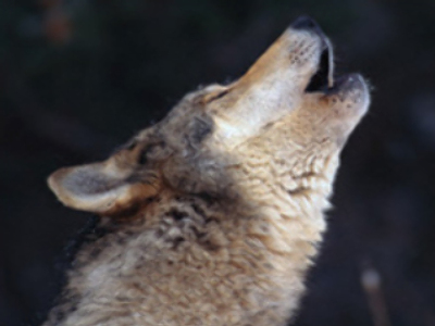 Of wolf and man: new decree to protect predators
