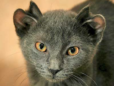 Professor eyes breeding four-eared cat