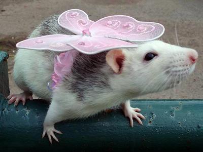 irresistible rats beauty rodentstyle — rt world news
