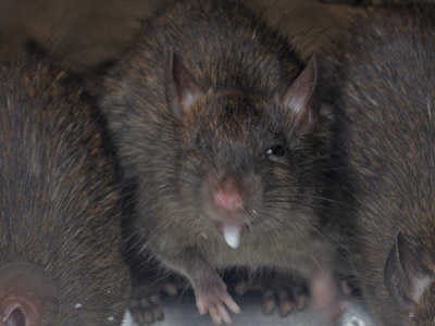 Desperate New York City authorities to sterilize rats